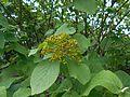 Viburnum veitchii 2016-05-17 0170.jpg