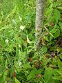 Vicia lutea1.jpg