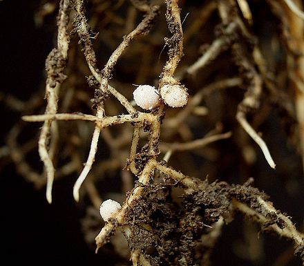 Root nodules on a broad bean (Wikipedia)