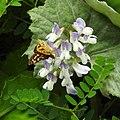 Vicia sylvatica RF.jpg