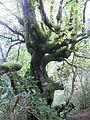 Viejo castaño en Cetin - panoramio.jpg