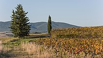 Vineyards and trees in Autignac 01.jpg