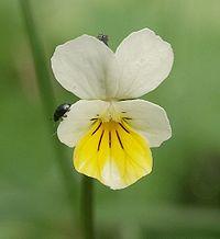 Viola arvensis 160405.jpg