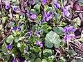 Viola odorata sl26.jpg