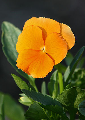 Viola (plant) - Viola cultivar showing the large round flowers and the novel coloration that has been achieved through breeding.