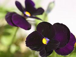Violet pansies.jpg