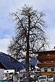 Virgen - Naturdenkmal ND 7 29 - Winterlinde (Tilia cordata) am Dorfplatz.jpg