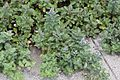 Vitex trifolia subsp. litoralis (bud).jpg