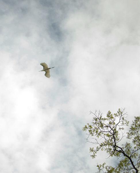 Un heron s'envole et passe au dessus des arbres qui bordent les berges du lac de grand-lieu.