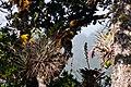 Vriesea williamsii ^ Vriesea castaneobulbosa på Quercus costricensis-0940 - Flickr - Ragnhild & Neil Crawford.jpg