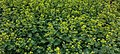 Vrouwenmantel Alchemilla mollis. Locatie, Tuinen Mien Ruys 01.jpg