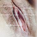 Vulva labeling.png