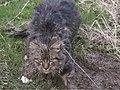 WALES Edwinsford 2005 snared cat.jpg