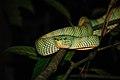 Wagler's Pit Viper - Night trekking - Bako National Park - Sarawak - Borneo - Malaysia - panoramio.jpg