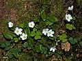 Waldsauerklee Oxalis acetosella-003.jpg
