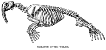 Drawing of walrus skeleton.
