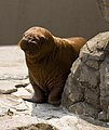 Walrus - Kamogawa Seaworld - pup -2.jpg