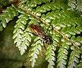 Wasp- Pompilidae (48890191126).jpg
