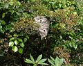 Wasps' nest by the Avon - geograph.org.uk - 1507055.jpg