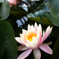 Waterlily at a nursery in Bangalore, India.png