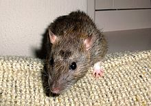 Wavy the pet rat.jpg