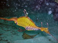 Weedy-Sea-Dragon-Sydney.jpg