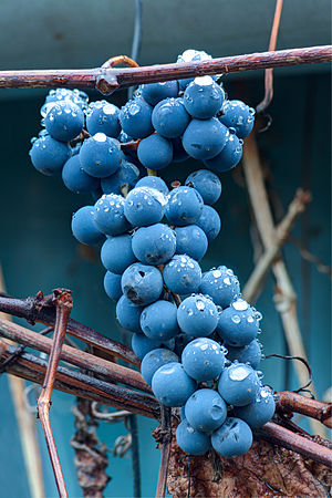 Grapes with raindrops