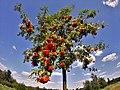 Wenn die Frucht reif ist, neigt sich der Ast (35592353474).jpg