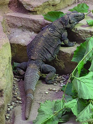 Sauromalus ater - Common chuckwalla Sauromalus ater at Bristol Zoo, England