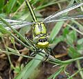 Western Clubtail. Gomphus pulchellus. Mature Male. Face detail - Flickr - gailhampshire.jpg