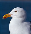 Western gull larus occidentalis 4908.jpg