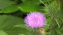 File:Western honey bee (Apis mellifera).webm