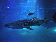 Photo of captive whale shark in aquarium
