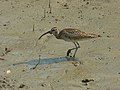 Whimbrel (Numenius phaeopus) (8130953289).jpg