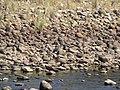 White-bellied Heron IMG 2602.jpg