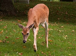 White-tailed deer (Odocoileus virginianus) in Allegheny Cemetery, Pittsburgh.JPG