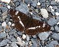 White Admiral. Limenitis camilla. upperwing (16026407048).jpg