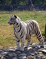 White Tiger Chatbir Zoo.jpg