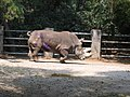 White rhinoceros chapultepec zoo.jpg