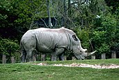 White rhinoceros or square lipped rhinoceros animal ceratotherium simum.jpg