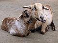 Wiederkäuendes Schaf.jpg