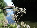 Wild Angelica - Angelica sylvestris - Bridgewater Canal, Grappenhall - geograph.org.uk - 39857.jpg