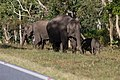 Wild Elephants (181632001).jpeg