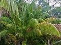 Wild Hill Sago (Eugeissona utilis) (15201011904).jpg