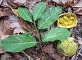 Wild fruit - vine (8320462289).jpg