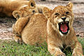Wild lions.jpg