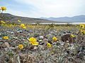 Wildflowers in Death Valley NP (9267476801).jpg