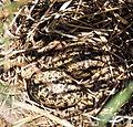 Wilson's Phalarope Nest (12824420113).jpg