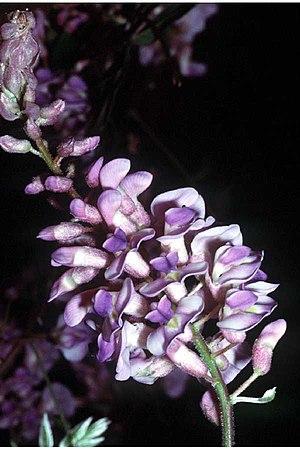 Wisteria frutescens - Image: Wisteria frutescens