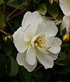 Witte roos (Rosa). Locatie, De Kruidhof Kruidentuin in Friesland.jpg